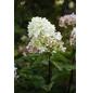 GARTENKRONE Rispenhortensie, Hydrangea paniculata »Phantom«, creme-Thumbnail