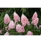 GARTENKRONE Rispenhortensie, Hydrangea paniculata »Pinky Winky«, creme-Thumbnail