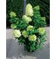 Rispenhortensie paniculata Hydrangea-Thumbnail