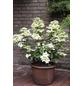 Rispenhortensie paniculata Hydrangea »Wims Red«-Thumbnail