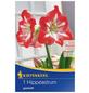 KIEPENKERL Ritterstern / Amaryllis x Hybrida Hippeastrum »Gestreift«-Thumbnail