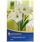 KIEPENKERL Ritterstern / Amaryllis x Hybrida Hippeastrum »Weiß «-Thumbnail