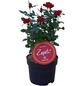 Zepeti® Rose-Thumbnail