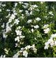 Rose »Escimo«, Blüte:-Thumbnail