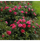 Rose »Knirps«, Blüte:-Thumbnail