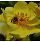 Rose »Lemon Fizz«, Blüte:-Thumbnail