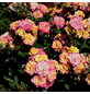 Rose »Little Sunset«, Blüte:-Thumbnail