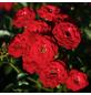 Rose »Mandy«, Blüte:-Thumbnail