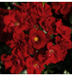 Rose »Marondo«, Blüte:-Thumbnail