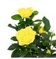 Rose, Rosa, Blüte: gelb-Thumbnail