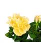 Rose, Rosa, Blüte: orange-Thumbnail
