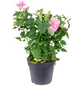 Rose, Rosa, Blüte: rosa-Thumbnail