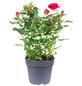 Rose, Rosa, Blüte: rot-Thumbnail