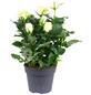 Rose, Rosa, Blüte: weiß-Thumbnail
