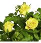 GARTENKRONE Rose, Rosa hybrid, Blüte: gelb-Thumbnail
