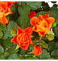GARTENKRONE Rose, Rosa hybrid, Blüte: orange-Thumbnail