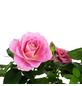 GARTENKRONE Rose, Rosa hybrid, Blüte: rosa-Thumbnail