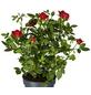 GARTENKRONE Rose, Rosa hybrid, Blüte: rot-Thumbnail
