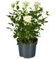 GARTENKRONE Rose, Rosa hybrid, Blüte: weiß-Thumbnail