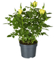 GARTENKRONE Rose »Rosa Hybrid«, Gelb-Thumbnail