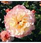 ROSEN TANTAU Rose, Rosa x hybrida »Aquarell«, Blüte: mehrfarbig, gefüllt-Thumbnail