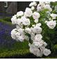 ROSEN TANTAU Rose Rosa X hybrida »Aspirin«, Weiß-Thumbnail