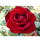 ROSEN TANTAU Rose Rosa x hybrida »Marlene«, Rot-Thumbnail