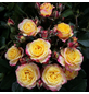 ROSEN TANTAU Rose, Rosa X hybride »Clementine«, Zweifarbig-Thumbnail