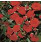 ROSEN TANTAU Rose Rosa X hybride »Orange Babyflor«, Zweifarbig-Thumbnail