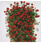 ROSEN TANTAU Rose, Rosa X hybride »Santana«, Dunkelrot-Thumbnail