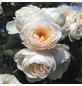 ROSEN TANTAU Rose »Uetersener Klosterrose«, Blüte: creme-Thumbnail