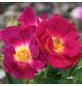 Rose »Weg der Sinne«, Blüte:-Thumbnail