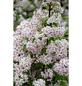 Rosendeutzie, Deutzia hybrida »Mont Rose«, Blütenfarbe hellrosa-Thumbnail