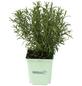 GREENBAR Rosmarin 3er Set, Rosmarinus Officinalis, Blütenfarbe: hellblau-Thumbnail