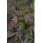 Rotblättriger Fächer-Ahorn, Acer palmatum »Atropurpureum «, Blattfarbe rot-Thumbnail