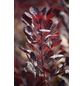 Rotblättriger Zwerg-Perückenstrauch, Cotinus coggygria »Lilla«, Blütenfarbe rot-Thumbnail