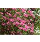 Rotdorn, Crataegus laevigata »Pauls Scarlet«, Blütenfarbe rot-Thumbnail