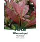 Rote Glanzmispel, Photinia fraseri »Red Robin«, Blütenfarbe weiß-Thumbnail