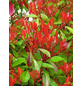 Rote Glanzmispel, Photinia fraseri »Red Robin «, Blütenfarbe weiß-Thumbnail