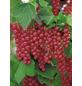 Rote Johannisbeere, Ribes rubrum »Rolan« Blüten: weiß, Früchte: rot-Thumbnail