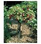 GARTENKRONE Rote Johannisbeere, Ribes rubrum »Rovada« Blüten: weiß, Früchte: rot, essbar-Thumbnail