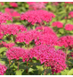 GARTENKRONE Rote Sommerspiere Spiraea japonica »Anthony Waterer«-Thumbnail