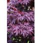 Roter Fächer-Ahorn, Acer palmatum »Bloodgood«, Blattfarbe rot-Thumbnail
