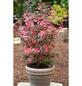 Roter Fächer-Ahorn, Acer palmatum »Shaina«, Blattfarbe mehrfarbig-Thumbnail