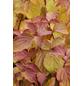 Roter Hartriegel, Cornus sanguinea »Winter Beauty«, Blütenfarbe weiß-Thumbnail