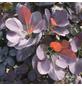 GARTENKRONE Roter Perückenstrauch, Cotinus coggygria »Royal Purple«, Blütenfarbe braun-Thumbnail