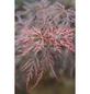 Roter Schlitz-Ahorn, Acer palmatum »Dissectum Tamukeyama«, Blattfarbe mehrfarbig-Thumbnail