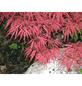 GARTENKRONE Roter Schlitzahorn, Acer palmatum »Dissectum Garnet«, winterhart-Thumbnail