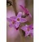 Roter Seidelbast, Daphne mezereum »Rubra Select«, Blütenfarbe dunkelrosa-Thumbnail