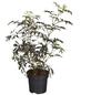 GARTENKRONE Rotlaubiger Holunder Sambucus nigra »Black Lace -R-«-Thumbnail